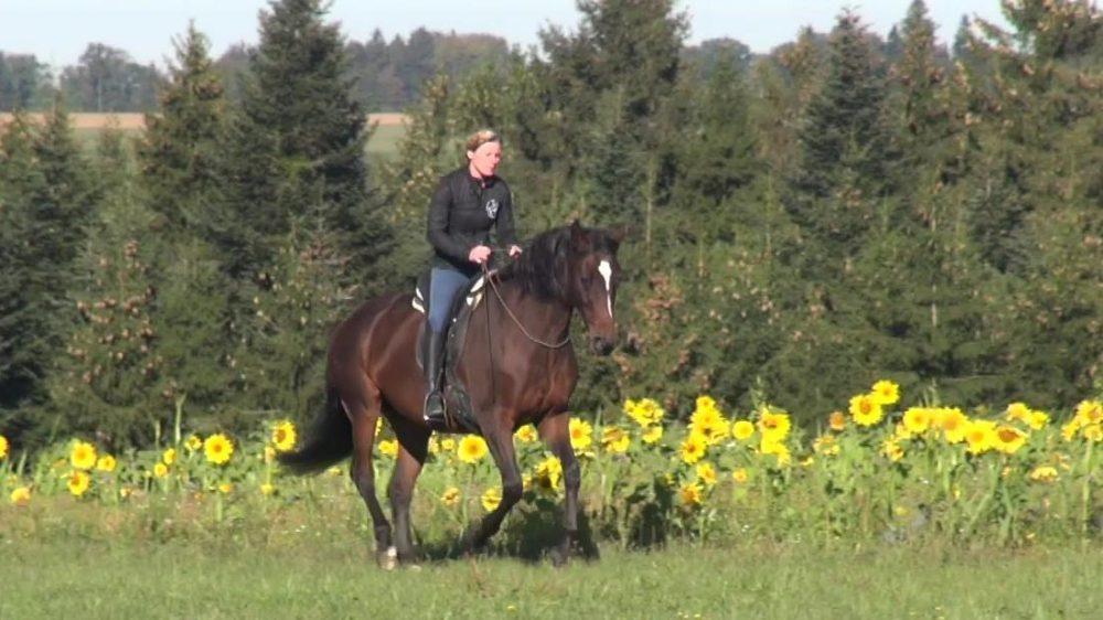 Susanne Lohas und Tres Belle frei im Galopp entlang am Sonnenblumenfeld
