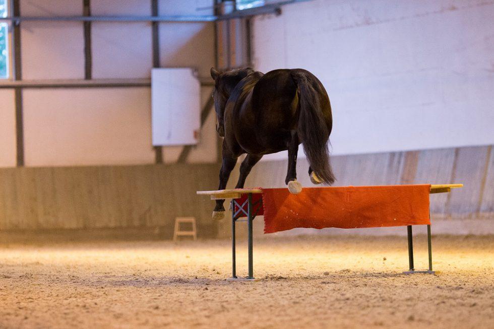 Browny das Quarter Horse Springtalent nimmt alle Hürden