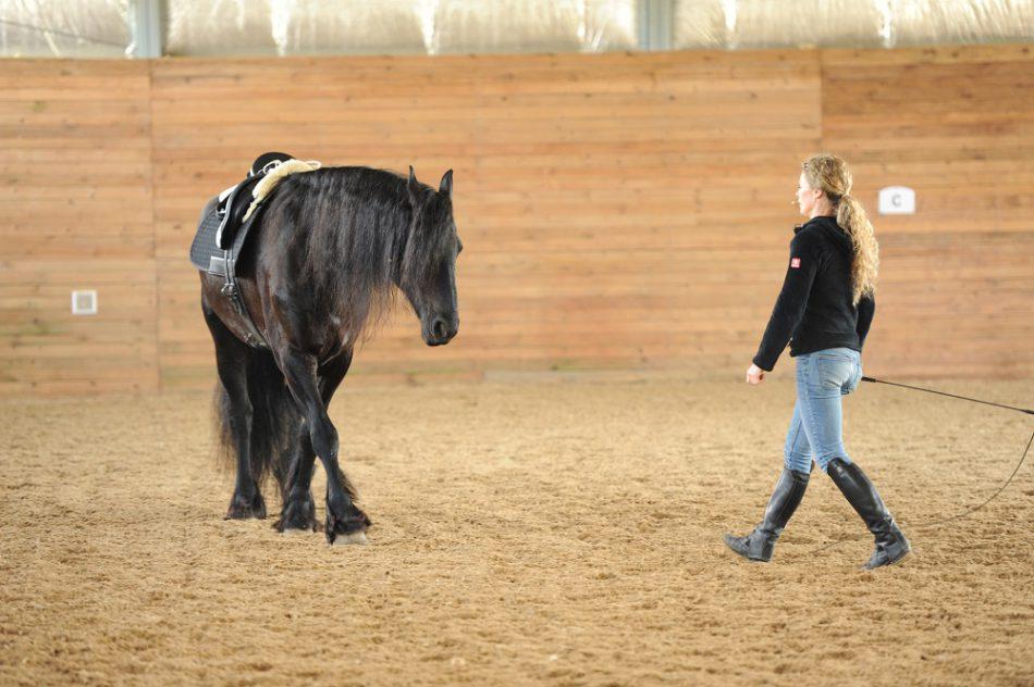 Friese Sapper - ein Traumpferd