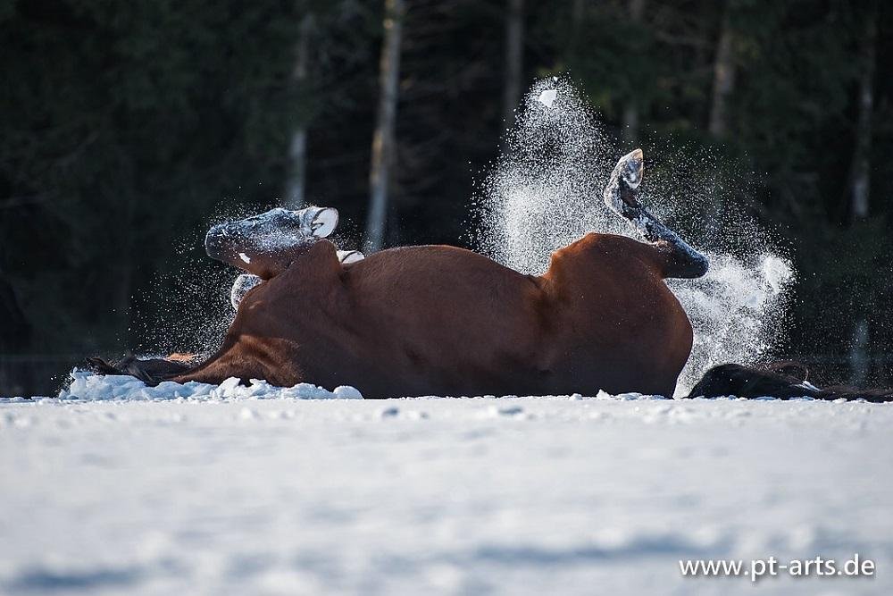Billy waelzt sich genüsslich im Schnee